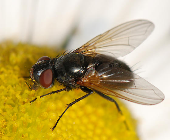large black fly - Tachinidae - Gnadochaeta