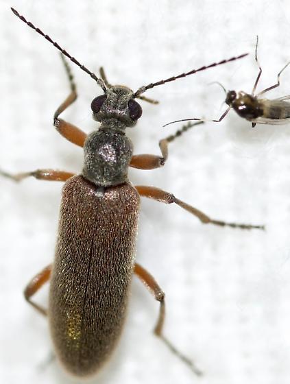 Unknown Beetle - Stereopalpus vestitus