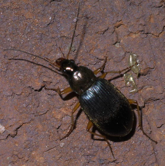 Black beetle with fine hair and yellow legs - Chlaenius tricolor