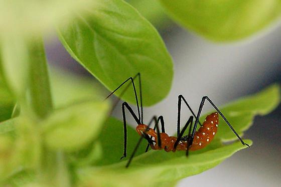 Zelus longipes  - Zelus longipes