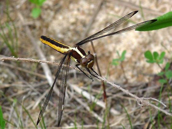 dragonfly - Libellula cyanea