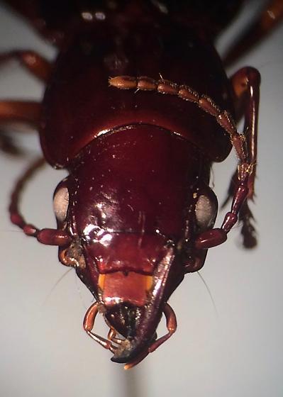 Pterostichus rostratus - female