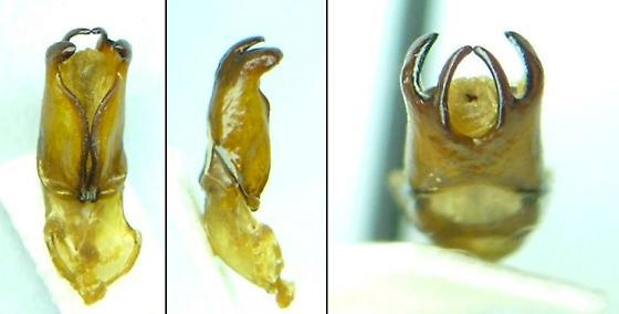Phyllophaga ephilida - male