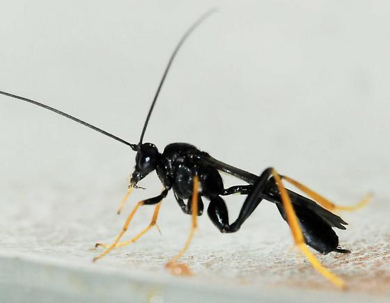 Ichneumonidae - Ichneumon Wasps Therion sp. - Exetastes suaveolens - female