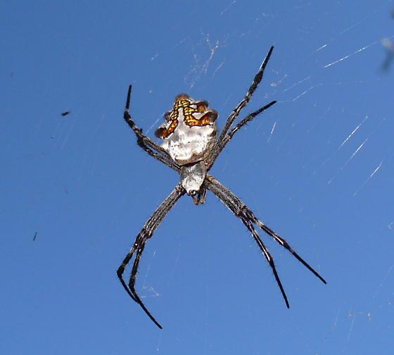 Metallic orb spider - Argiope argentata - female
