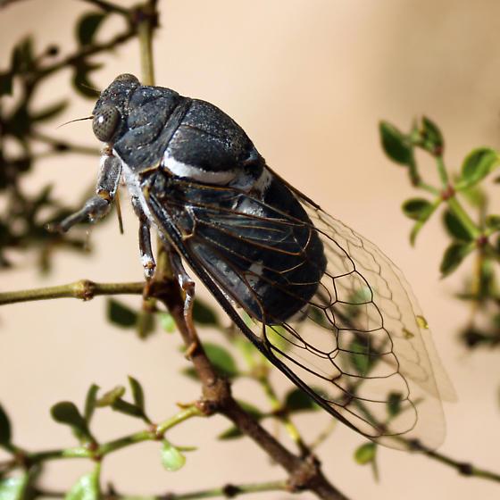 Cicada Species? - Cacama