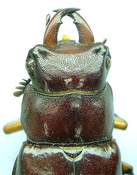 Lucanus - Lucanus capreolus