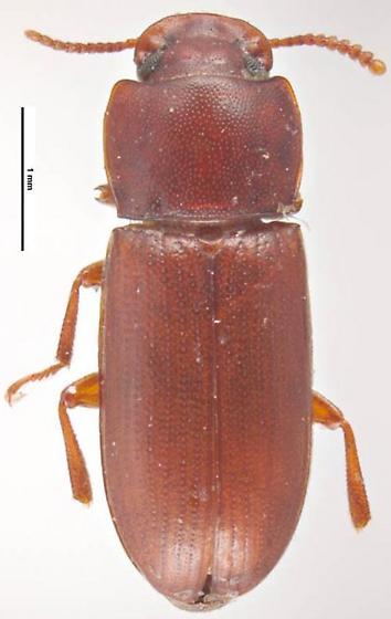 Gnatocerus cornutus - female