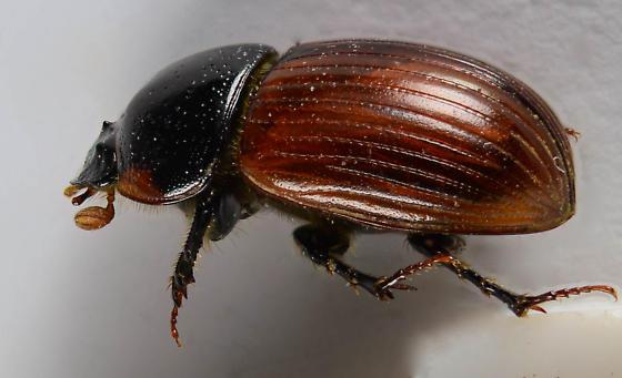 Red Dung beetle... - Aphodius fimetarius