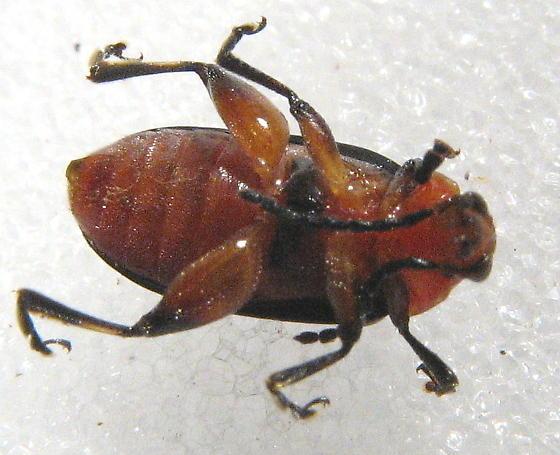 Disonycha - striped flea beetle - Disonycha glabrata