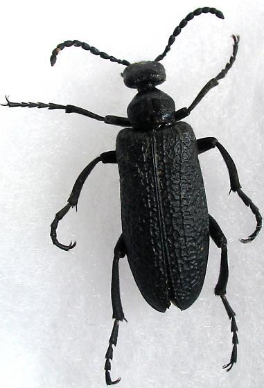 Meliodae - Lytta reticulata