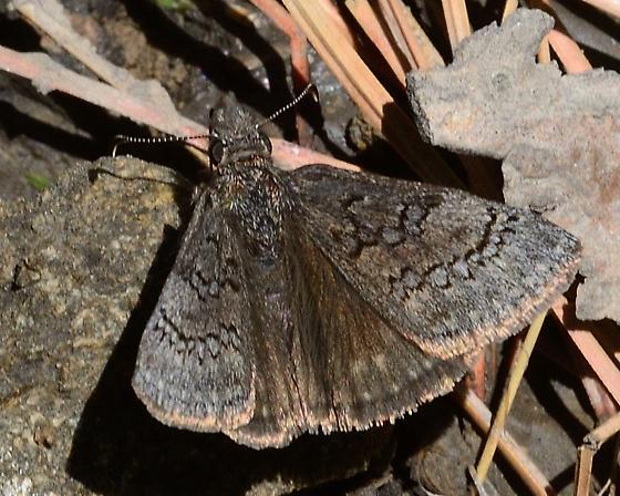 Unknown Butterfly - Erynnis brizo