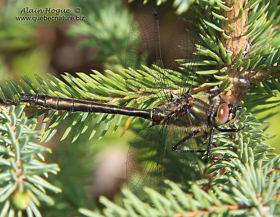 Odonata - Cordulia shurtleffii