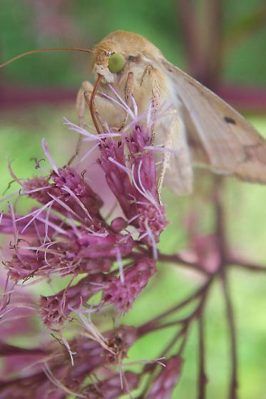 Corn Ear Worm Moth - Helicoverpa zea
