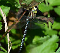 Unknown darner. - Aeshna constricta