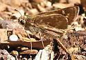Common Mellana side - Quasimellana eulogius
