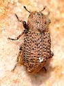 Mystery beetle on sandstone - Thecesternus