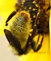 Bombus Subgenus Thoracobombus? Species? - Bombus