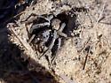 spider - Geolycosa