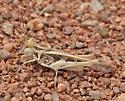 Rehn's slender grasshopper - Hippopedon gracilipes - male