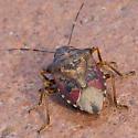 Stink Bug - Podisus serieventris