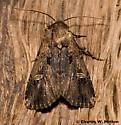 Moth - Dichagyris cataclivis