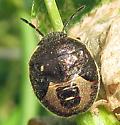 Margined Stink Bug nymph - Holcostethus limbolarius