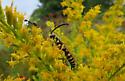 Wasp on goldenrod   - Myzinum quinquecinctum - male