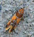 Orange-headed Epicallima Moth - Epicallima argenticinctella