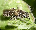 Halictid - Dufourea - male