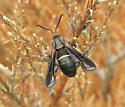 Bug on Dead Cedar - Paranthrene asilipennis