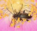 black flower longhorns - Grammoptera subargentata - male - female