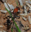 Wood Wasp Type? - Psorthaspis legata