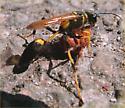 unknown wasp with prey - Sceliphron caementarium - female