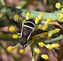 Is this Paradiplocampta? - Hemipenthes lepidota