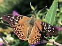 Hackberry emperor on butterfly bush - Asterocampa celtis