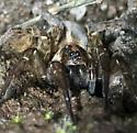 Wolf spider, don't know which species - female