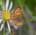 Copper species? - Lycaena
