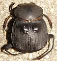 Humpback Dung Beetle - Deltochilum gibbosum
