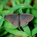 Carolina Satyr - Hermeuptychia sosybius - male