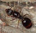 ant - Aphaenogaster