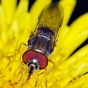 Syrphid Fly - Platycheirus obscurus - male