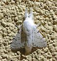 Artace cribrarius