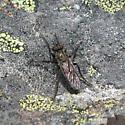 Asilidae 6-24-10 02 - Lasiopogon monticola