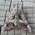 Deidamia inscripta (Lettered Sphynx Moth) - Deidamia inscriptum