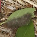 Cycnia - Cycnia tenera