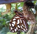 What kind of Caterpillar? - Agraulis vanillae