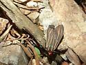 Uk yellow stripe winged insect w/ red head - Ctenucha venosa