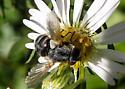 Unidentified bug 10032017 - Gymnoclytia occidua