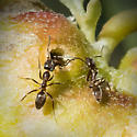 Gall Ants - Linepithema humile